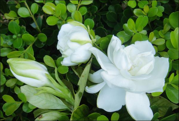 栀子花花期是多长?栀子花什么时候开花?