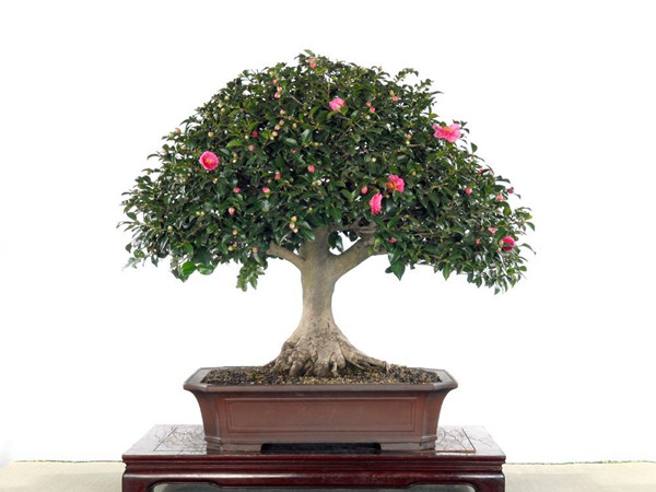 茶花盆景的图片