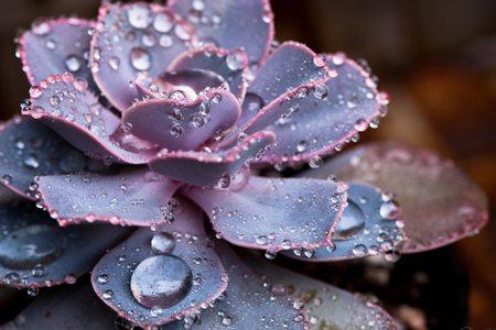 水灵的紫珍珠