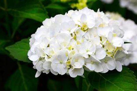 八仙花养护之温度要求