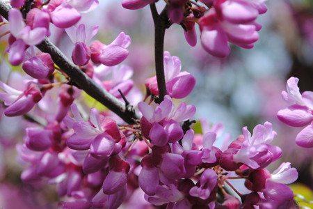 紫藤花开花的图片