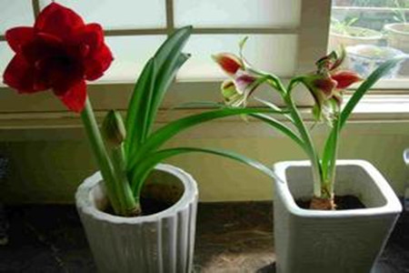 开花与未开花的朱顶红