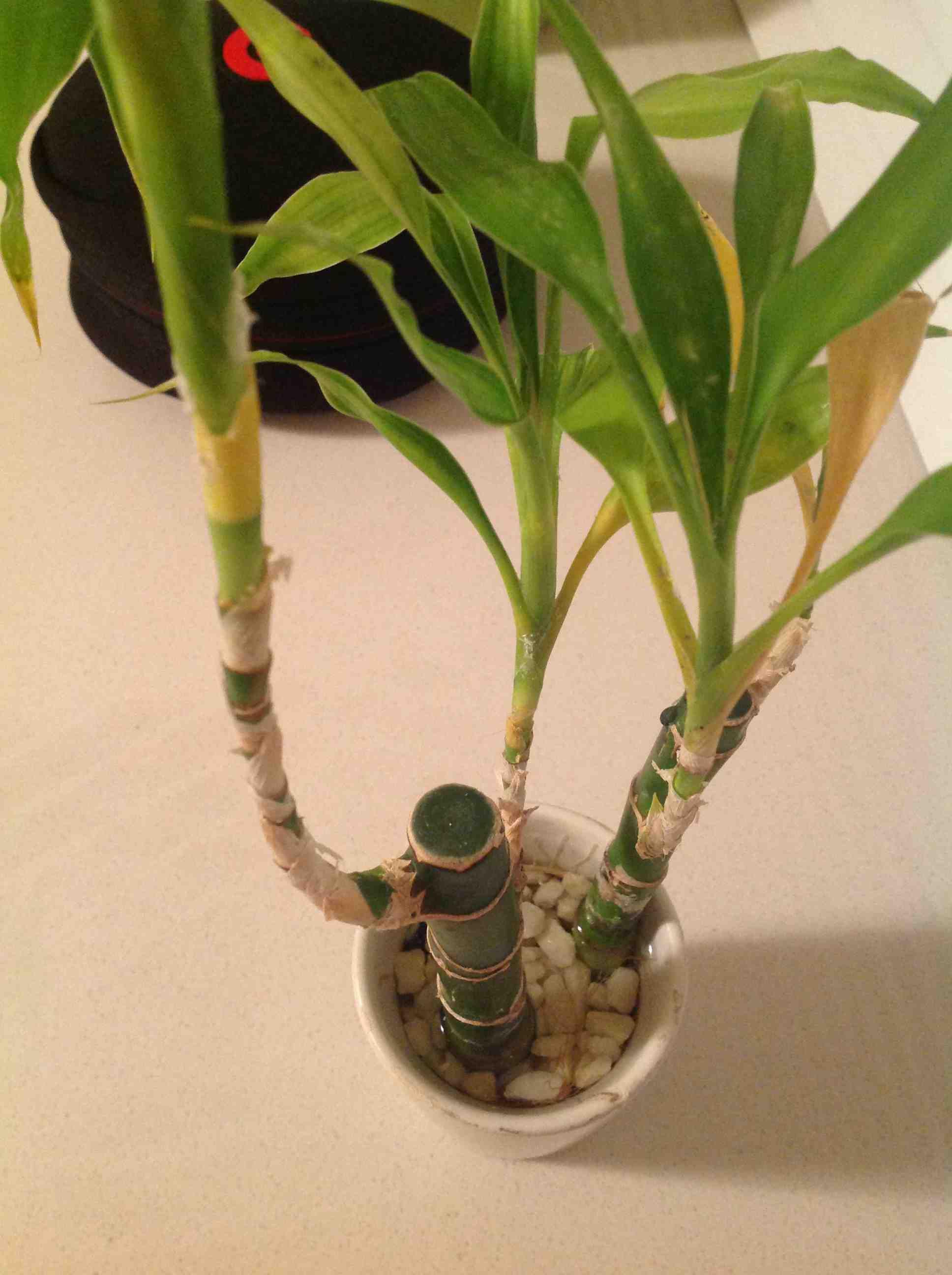 富贵竹茎秆发黄