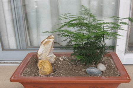 盆栽凤尾竹