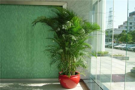 室内盆栽凤尾竹受光合作用影响