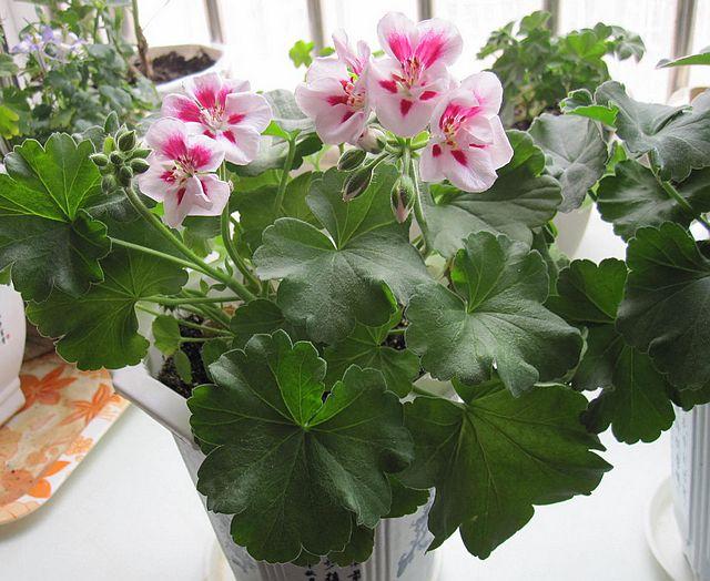 开花的天竺葵