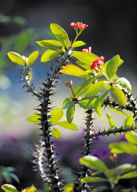 虎刺梅不开花的原因:水肥问题