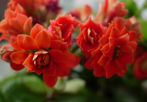 长寿花不开花的解决办法