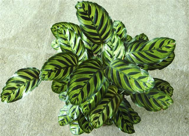 孔雀竹芋叶子卷曲怎么办二:浇水太少、湿度过低