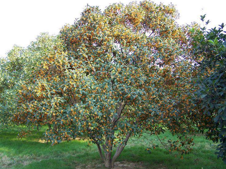 室外种植的桂花树