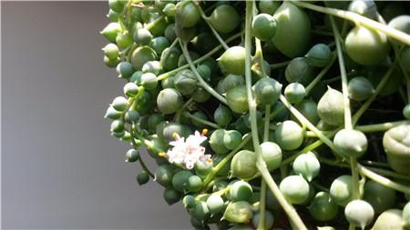 开花的绿之铃多美