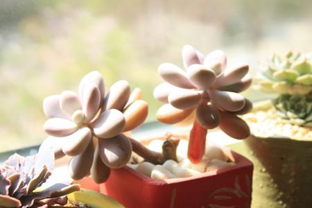 桃之卵的花