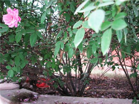 蔷薇花冬季掉叶是好是坏