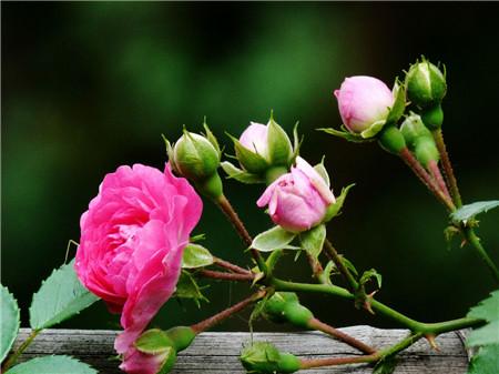 蔷薇花的开花时间