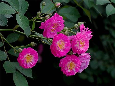 蔷薇花不开花怎么办