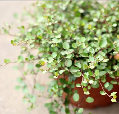 千叶吊兰植株干枯、枯萎怎么办