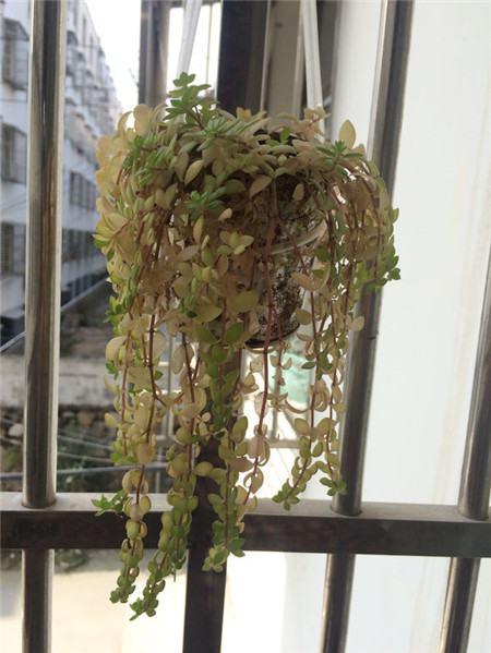 垂盆草叶片萎蔫