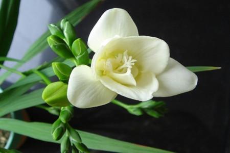晚香玉只长叶不开花的原因