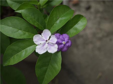 双色茉莉什么时候开花