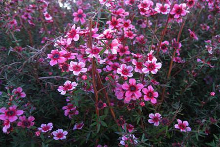 松红梅开花分散