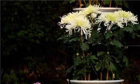 采取防止盆栽菊下部叶片枯黄、脱落的措施