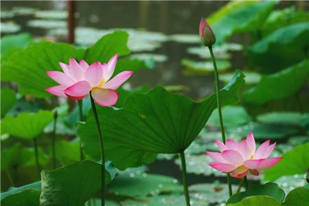 玫瑰花被称为什么美称图片