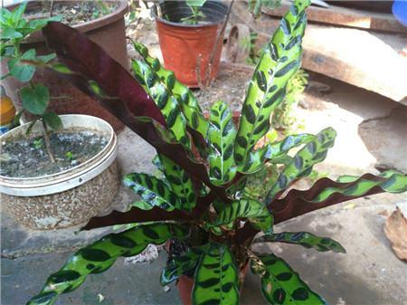 猫眼竹芋叶子弯曲