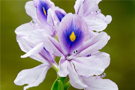 凤眼蓝影响其他生物的生长
