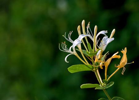 金银花开花的养护