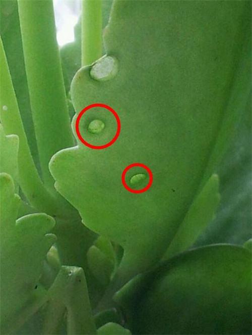 长寿花长虫子