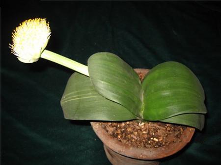 虎耳兰生长期叶子发黄