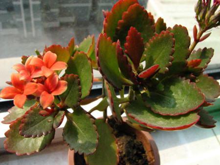 长寿花叶子变红的原因