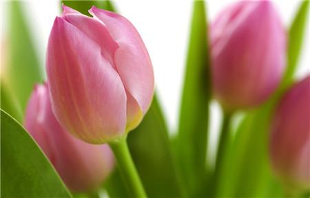 郁金香茎短花小是因为品种不同