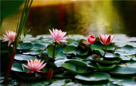 睡莲不开花是品种的问题