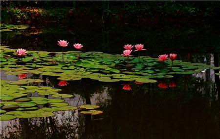 睡莲不开花是光照的原因