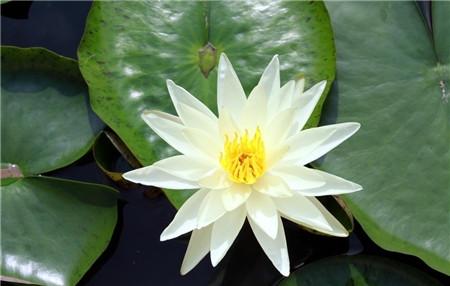 睡莲不开花是因为长时间不分株