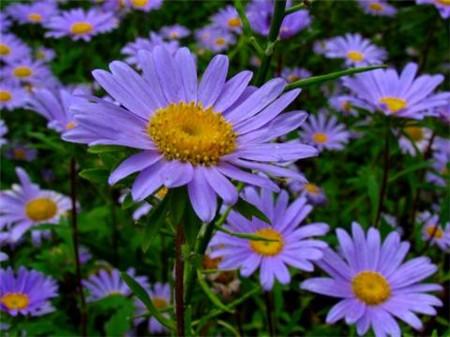 海紫苑花朵