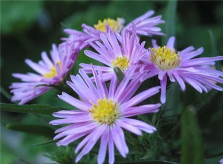 美丽的海紫苑