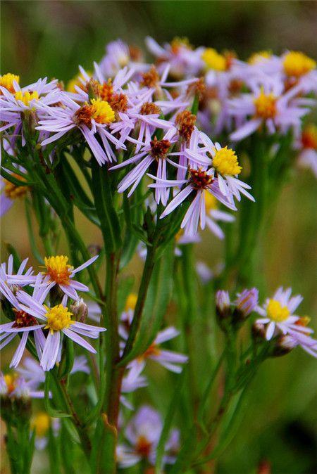 海紫苑植株