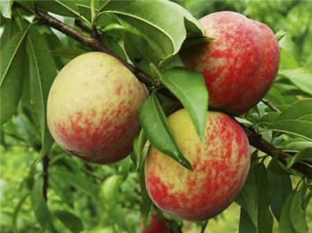 长在树上的桃子