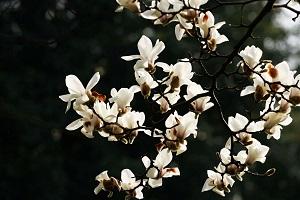 白玉兰花枝