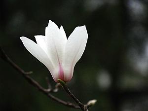 白玉兰花朵