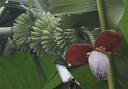 长在树上的芭蕉