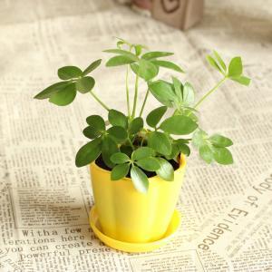 好看的盆栽七叶莲
