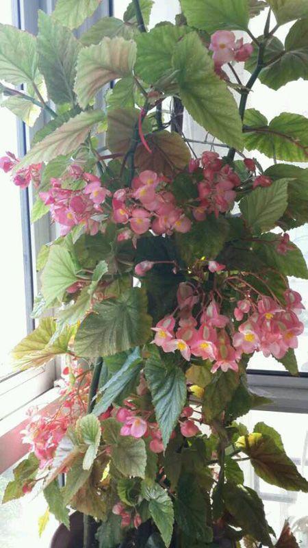 竹节海棠开花