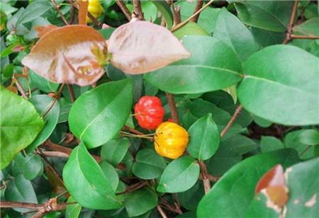 苦樱桃的植株