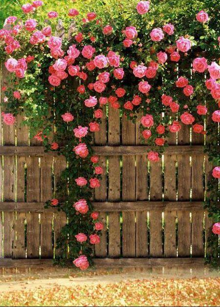 蔷薇小花墙