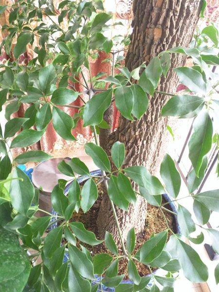 富贵树植株