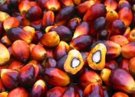 棕榈果果实