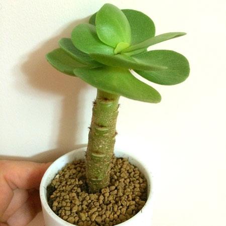 盆栽金钱木